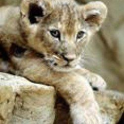 Le jeune lion et le Fils de La Femme